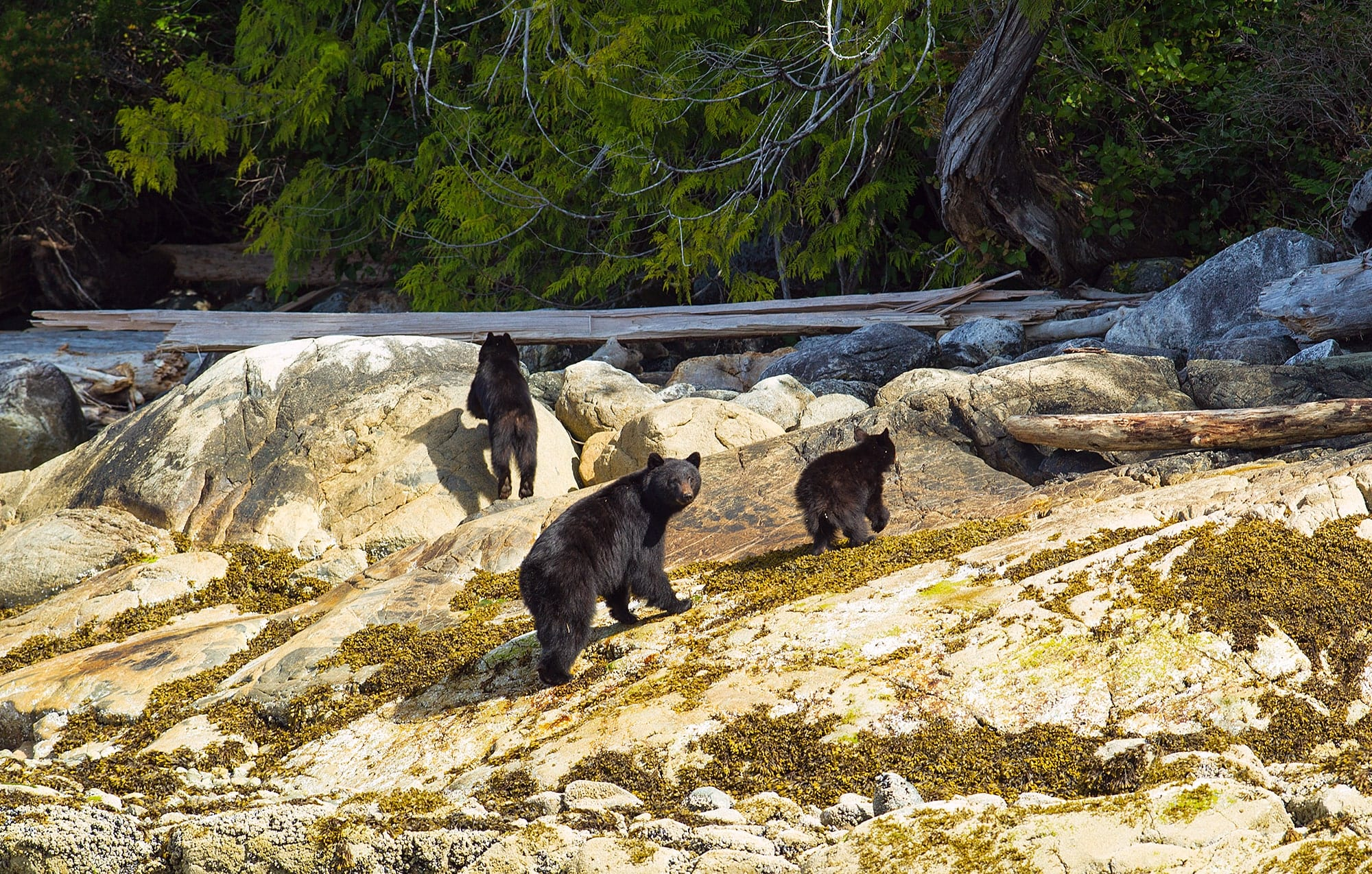 Black bear and cubs roaming near water.
