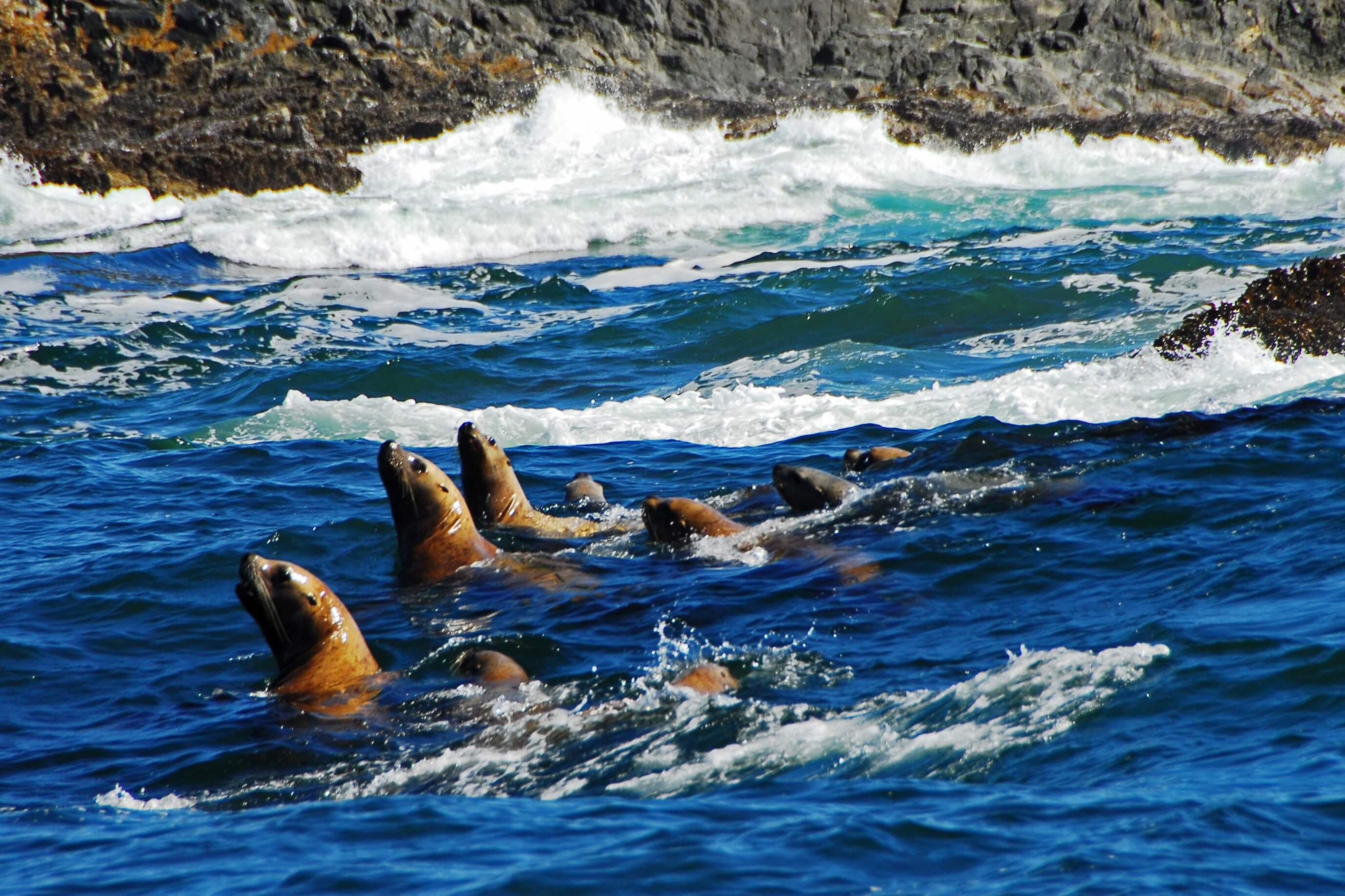 Sea Lions looking for salmon.