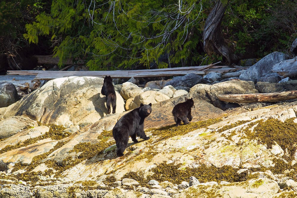 Three black bears searching for fish.