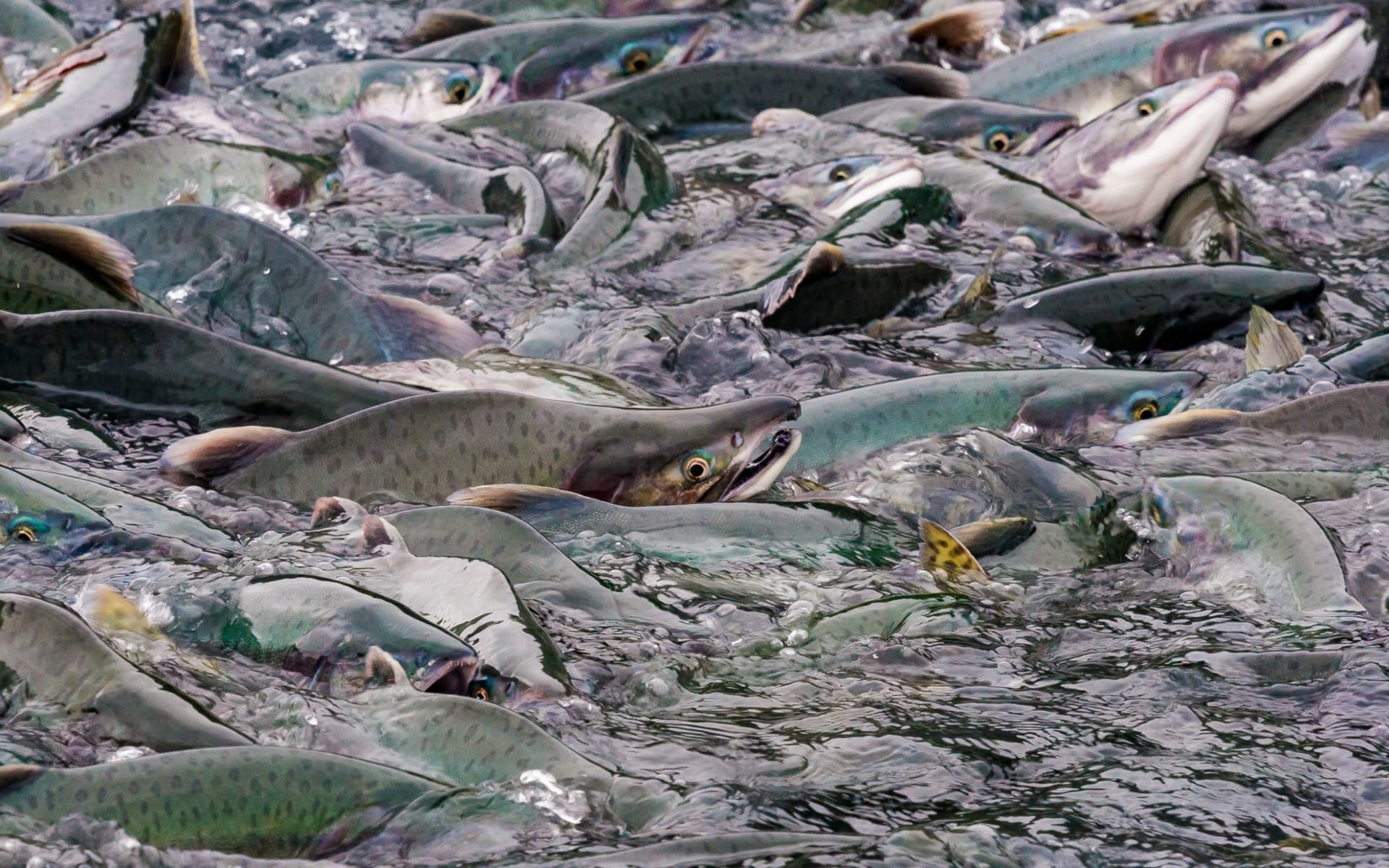 A massive migration of salmon.