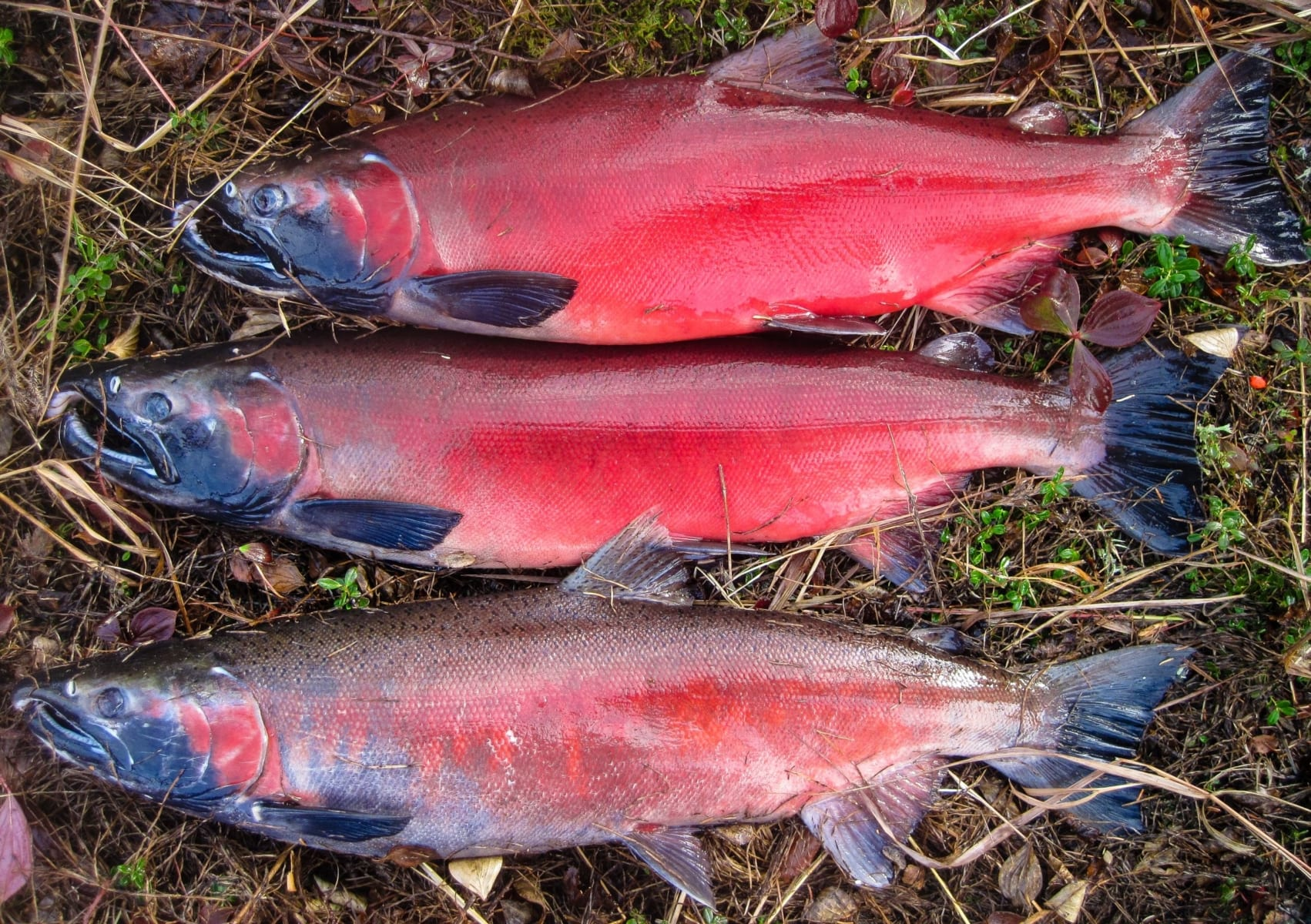 Three salmon rest upon the grassy knoll of the river bank.