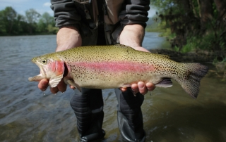 A close up view of a rainbow trout being held by a fisherman trout fishing in BC..