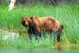 A foraging bear roams a marsh while eating tall grass emerging from the wetland.