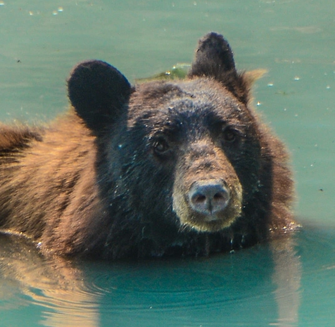 An image of a bear that you can see during your Vancouver Island Vacation